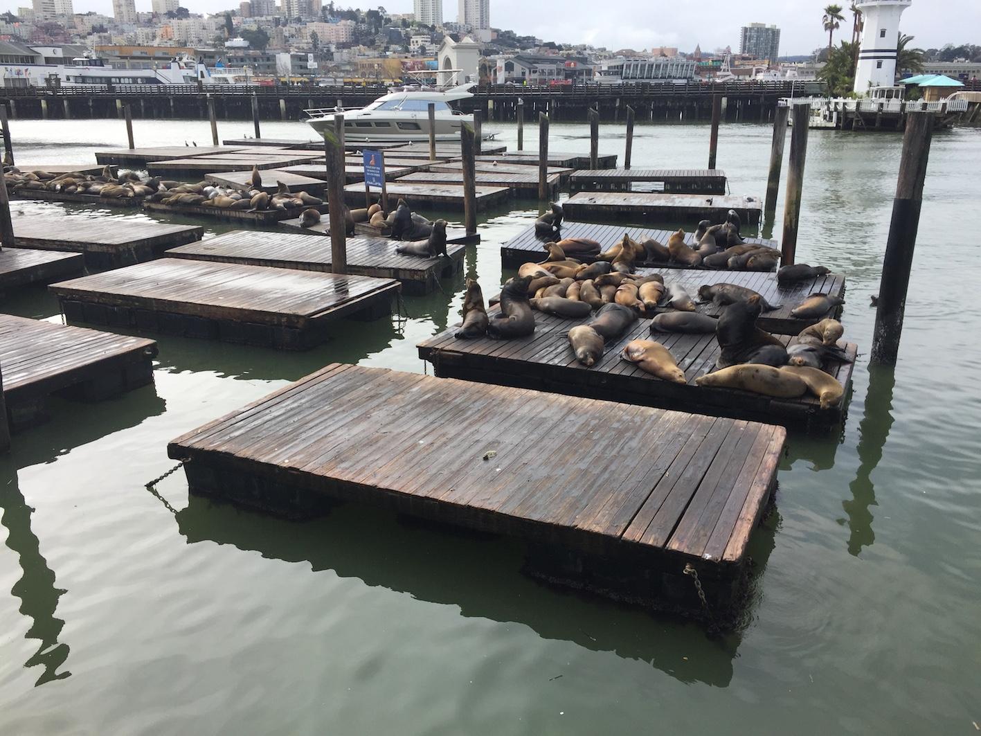 Sea Lions at Popular Pier 39